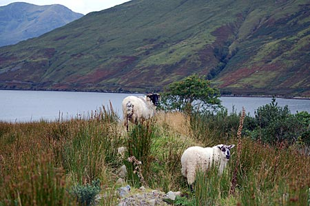 """Hamlet und Sally, die beiden wilden Blackfacesheeps vor dem Cottage """"Killary View"""". Es liegt im Dorf Leenaun, am Kopf vom Killary Harbour, dem einzigen Fjord Irlands."""