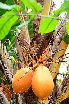 Papua-Neuguinea - Kokospalme