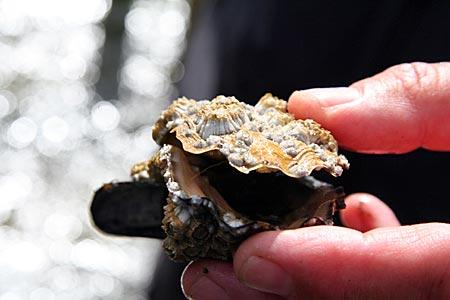 Dänemark - Mandö - Auster