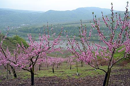 Frühlingsboten: Die blühenden Pfirsichbäume sind nicht nur schön anzuschauen, der verarbeitete Weinbergpfirsich ist auch eine regionale Spezialität