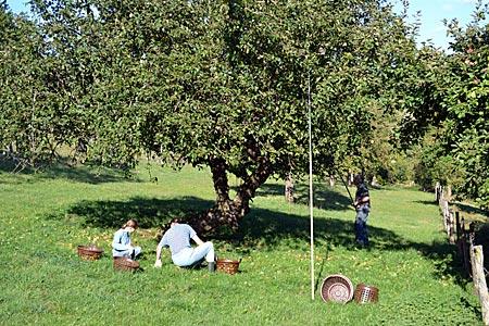 Odenwald - Reine Handarbeit: Apfelernte auf einer Streuobstwiese