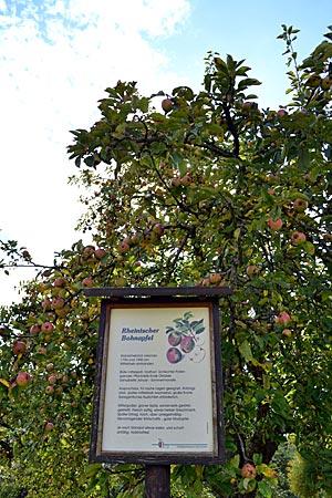Odenwald - Lehrreich: Auf den Lehrpfaden erfährt man von Apfelsorten, die man in den Auslagen der Supermärkte vergeblich sucht