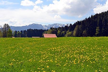 Tölzer Land - Das Gesicht der Landschaft im Frühling. Blühende Löwenzahnwiese bei Wackersberg mit Blick auf das Karwendelgebirge