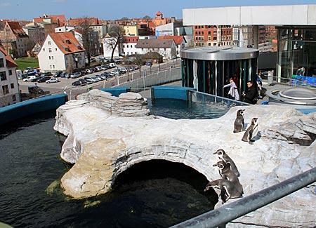 Stralsund - Pinguine auf dem Dach des Ozeaneum