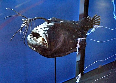 """Stralsund - Meeresmuseum - Jeder kennt ihn aus dem Film """" Findet Nemo"""", den Tiefsee-Anglerfische, der mit der Lampe angelt"""
