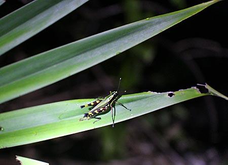 Ecuador - Flashlight Show: kleiner Frosch auf grünem Blatt