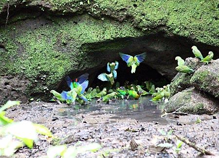 Ecuador - Sittiche und Papageien an der Salzlecke im biologischen Reservat Limoncocha