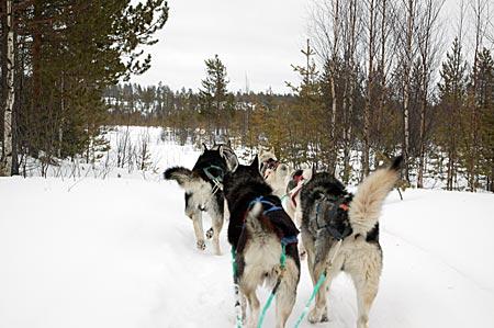 Finnland - Schlittenhunde