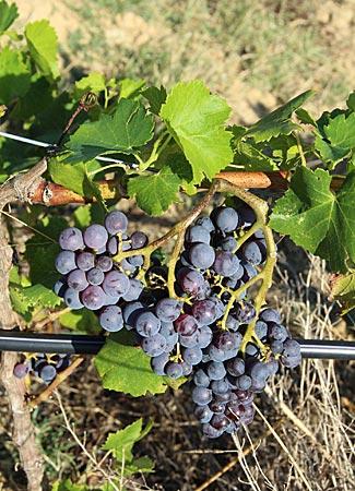 Korsika - Weingut Domaine Maestracci