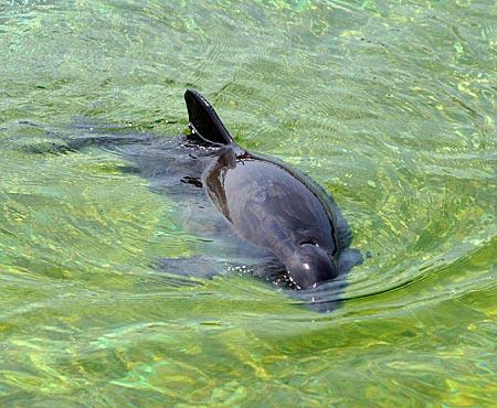 Niederlande - Texel - Schweinswal im Ecomare