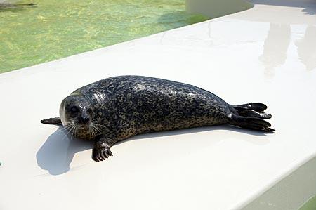 Niederlande - Texel - Seehund im Ecomare