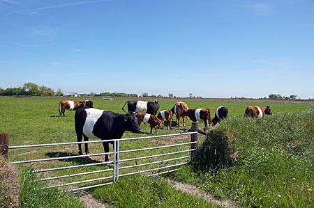 Niederlande - Texel - Kühe