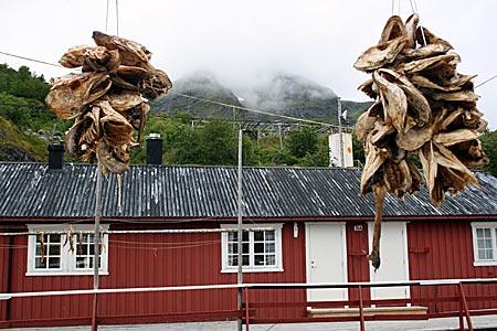 Norwegen - Lofoten - Fisch auf Trockengestänge