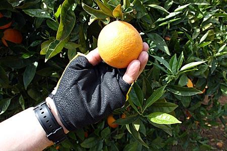 Portugal - Allgarve - Orangenbaum