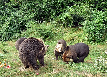 Rumänien - Transsilvanien - Bären im Schutzreservat Libearty bei Zarnesti