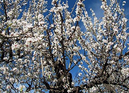 Spanien - Mallorca - Mandelblüte