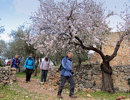 Balearen - Mallorca - Wanderweg an Mandelbaumplantage