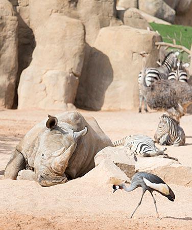 Spanien - Nashorn liegt  im Bioparc in Valencia in der Sonne