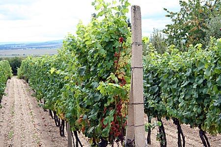 Tschechien - Südmähren - Weinreben bei Znojmo