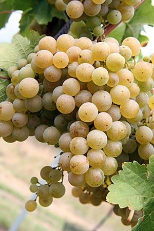 Tschechien - Südmähren - Tschechien - Südmähren - Weinreben bei Znojmo